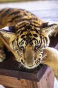Young tiger lying down, Thailand Stock Photos