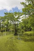 Bald cypresses on swamp, North Carolina, USA Stock Photos