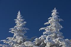Frost on spruce trees, USA Stock Photos