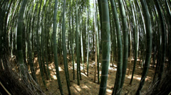 Kyoto Bamboo forest natural environment canopy harvest  Japan - stock footage