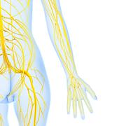 Anatomy of female body with nervous system Stock Illustration