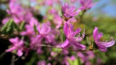Pink Azaleas flowers plant Koch Sanso Japanese garden  Kyoto Stock Footage