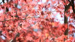 Japanese Red Maple tree Koch Sanso garden Kyoto Japan Asia Stock Footage