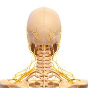 Anatomy of female skull and shoulders - stock illustration