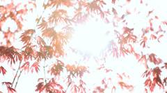 Japanese Red Maple tree Koch Sanso garden sun flare Kyoto Japan Stock Footage