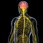 Anatomy of male body with nervous system Stock Illustration