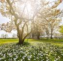 Stock Photo of Wonderful magnolia tree in sunshine