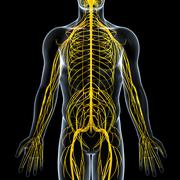 Anatomy of nervous system with male body - stock illustration
