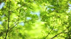 Japanese green Maple tree Koch Sanso garden Kyoto Japan Stock Footage