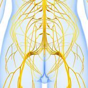 Anatomy of female body with nervous system Stock Illustration