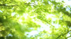 Japanese green Maple tree Koch Sanso garden Kyoto sun flare Stock Footage