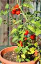 Stock Photo of tomato plant grown in a pot in the garden on the balcony