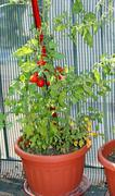 tomato plant with ripe fruits cultivated in the red city-appartement - stock photo