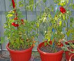 Stock Photo of tomato plants grown in pots on the terrace of the house in the city