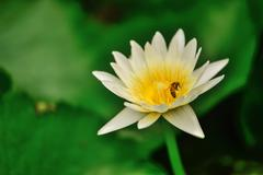 white lotus and bee  in pool - stock photo