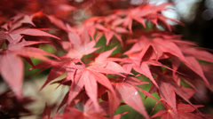 Red Japanese Maple tree Acer Koch Sanso garden Kyoto Japan Stock Footage