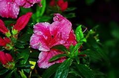 Pink Blossom Close-Up of Azalea Flower. Stock Photos
