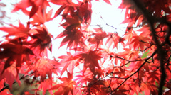 Japanese red Maple tree Acer Koch Sanso Kyoto Japan Asia Stock Footage