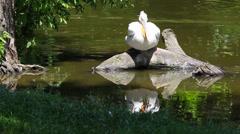 Dalmatian Pelican-Pelecanus Stock Footage