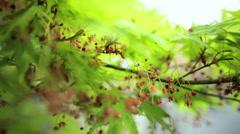 Green Japanese Maple tree Koch Sanso garden Kyoto Japan Stock Footage