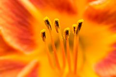 Orange Lilium Pistil Nectar - stock photo