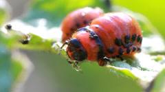 Colorado beetle larvae Stock Footage