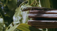 Lizard on wood Stock Footage