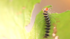 Caterpillar eat green leaves. Stock Footage