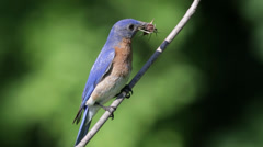 Male Eastern Bluebird With Skipper Butterfly Stock Footage