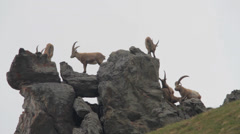 Herd of alpine ibexes Stock Footage