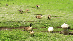 Geese on grass Stock Footage