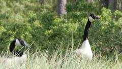 tele, long necks of pair of Canada geese (Branta canadensis) with their young - stock footage