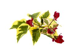 bougainvillea sprig of variegated leaves and red flowers - stock photo