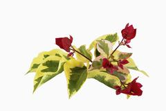 Red flowers and variegated leaves of bougainvillea Stock Photos