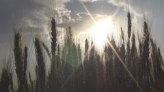 Landscape with ear of wheat, Green wheat field, Splendid background. Stock Footage