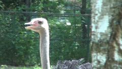 Ostrich moving inside a farm, Wild bird, Ostrich farm Stock Footage