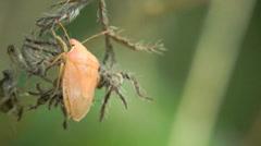 4k Yellow Bug Pentatomidae insect macro Stock Footage
