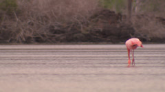 Several Galápagos flamingos foraging in shallow water. Stock Footage