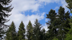 Beautiful clouds in a pine forest Stock Footage