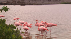 A small group of Galápagos flamingos foraging in shallow water. Stock Footage