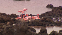 A small group of Galápagos flamingos together on the rocks. Stock Footage