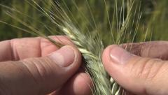 Wheat ear in farmer hands, Farmer studying the evolution of an ear of wheat Stock Footage