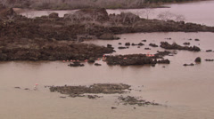 Long shot of a group of Galápagos flamingos on rocks in water. Stock Footage