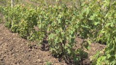 View with culture of vineyard. Agriculture. Unripe grapes in springtime.  Stock Footage