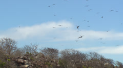 Silhouettes of a large group of frigate birds flying against a blue sky, Stock Footage