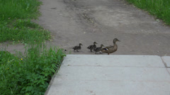A mother duck and ducklings cross the road. 4K. Stock Footage