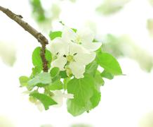 flowers of apple-tree - stock photo