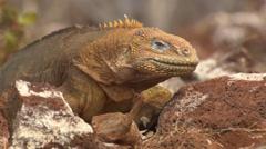 Two Galápagos land Iguanas on rocky ground Stock Footage