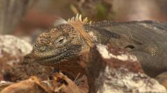 Two Galápagos land Iguanas on rocky ground. Stock Footage