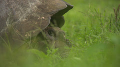 A Galápagos giant tortoise sitting in high grass, chewing on a leaf. Stock Footage